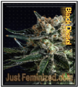 Black Diesel feminized indica sativa cannabis single seeds for sale